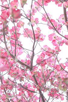 Free Cherry Blossom Tree Stock Photography - 111615342