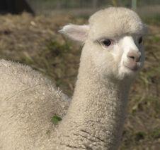 Free Alpaca, Llama, Camel Like Mammal, Terrestrial Animal Royalty Free Stock Photos - 111642498