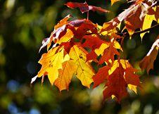 Free Leaf, Autumn, Maple Leaf, Deciduous Stock Photo - 111642560