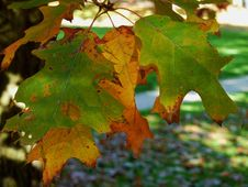 Free Leaf, Autumn, Maple Leaf, Deciduous Stock Photos - 111642613