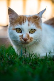 Free Cat, Whiskers, Green, Fauna Royalty Free Stock Images - 111642749