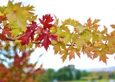 Free Maple Leaf, Leaf, Autumn, Maple Tree Royalty Free Stock Photo - 111643015