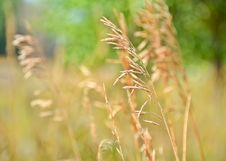 Free Grass, Grass Family, Close Up, Crop Royalty Free Stock Images - 111643029