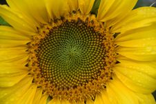 Free Flower, Sunflower, Yellow, Sunflower Seed Stock Photos - 111643043
