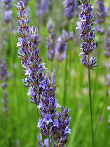 Free English Lavender, Plant, Lavender, Hyssopus Royalty Free Stock Images - 111643049