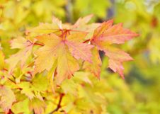 Free Leaf, Maple Leaf, Autumn, Maple Tree Royalty Free Stock Photography - 111643057