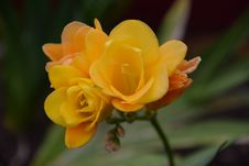 Free Flower, Yellow, Rose Family, Petal Stock Photography - 111643062