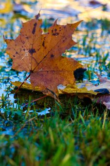 Free Leaf, Autumn, Maple Leaf, Deciduous Royalty Free Stock Images - 111643259