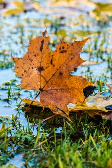 Free Leaf, Maple Leaf, Autumn, Tree Royalty Free Stock Images - 111643269