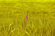 Free Field, Grass, Crop, Grass Family Stock Image - 111643351