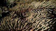 Free Tree, Pine Family, Spruce, Branch Stock Photo - 111643410