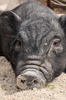 Free Pig Like Mammal, Pig, Domestic Pig, Mammal Stock Photography - 111643522