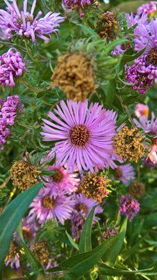 Free Flower, Plant, Aster, Purple Stock Photos - 111643523