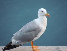 Free Bird, Gull, Seabird, European Herring Gull Stock Photo - 111643690