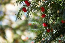 Free Tree, Taxus Baccata, Yew Family, Conifer Royalty Free Stock Image - 111643746
