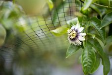 Free Flower, Plant, Flora, Passion Flower Royalty Free Stock Photography - 111643807