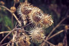 Free Flora, Burdock, Thorns Spines And Prickles, Greater Burdock Stock Images - 111643814