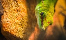 Free Micro Photography Of A Gecko Stock Images - 111685524