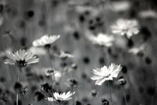 Free Grayscale Photography Of Daisy Flowers Stock Images - 111685534
