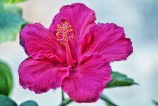 Free Pink Hibiscus Flower Royalty Free Stock Image - 111685606