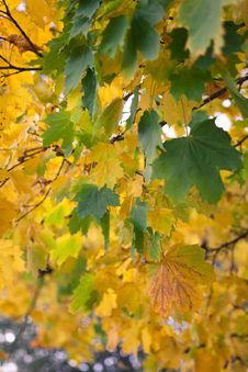 Free Leaf, Yellow, Autumn, Tree Royalty Free Stock Images - 111719429