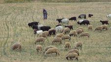 Free Herd, Ecosystem, Grassland, Grazing Stock Image - 111719531