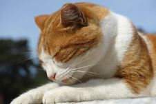 Free Cat, Whiskers, Fauna, Small To Medium Sized Cats Royalty Free Stock Photos - 111719578
