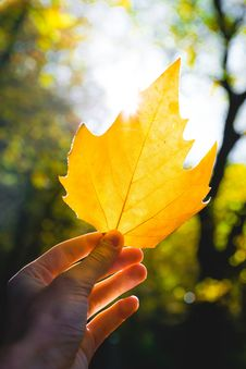 Free Leaf, Yellow, Maple Leaf, Autumn Royalty Free Stock Image - 111719806