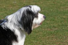 Free Tibetan Terrier In Profile Royalty Free Stock Photography - 11182757