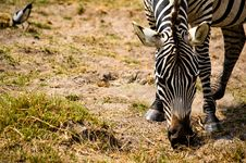 Free Zebra Eating Grass Selective Focus Photography Stock Photos - 111823973