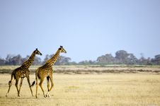 Free Two Giraffe Animal On Brown Grass Field Stock Images - 111823974