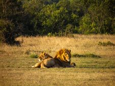 Free Male And Female Lions On Grass Field Royalty Free Stock Images - 111823989