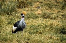Free Gray And Black Bird On Green Grass Royalty Free Stock Images - 111824019
