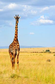 Free Giraffe Standing On Grass Stock Image - 111824021