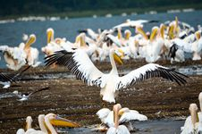 Free Flock Of Pelicans In Seashore Royalty Free Stock Photography - 111824027