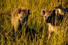 Free Three Hyena Animals On Grass Field Royalty Free Stock Images - 111824029