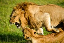 Free Lion Beside Lioness Stock Image - 111824031