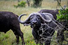 Free Three Black Water Buffalos Stock Photos - 111824033