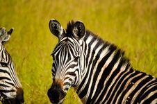 Free Focused Photo Of Zebra Royalty Free Stock Photos - 111824048