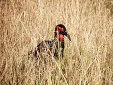 Free Red And Black Bird In The Middle Of Grass Royalty Free Stock Image - 111824056