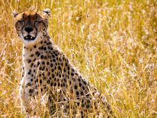 Free Photograph Of Cheetah Stock Images - 111824064