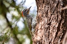 Free Brown And Grey Spotted Woodpecker Royalty Free Stock Photos - 111824088