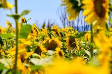 Free Sunflowers Stock Photography - 111824102