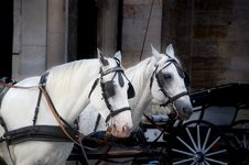 Free Photo Of Two White Horse With Carriage Stock Image - 111824111