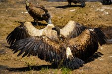 Free Flock Of Vultures Stock Photos - 111824113