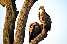 Free Two Brown Vultures Perched On Tree Royalty Free Stock Photos - 111824118