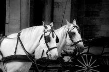 Free Two White Horses With Carriage Stock Photography - 111824192