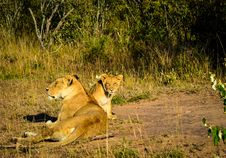 Free Lioness And Lion Cub Lying On Brown And Green Grass At Daytime Royalty Free Stock Images - 111894489