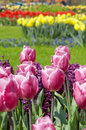 Free Dutch Tulips Royalty Free Stock Photography - 1124157