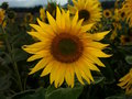 Free Sunflowers Stock Photos - 1128253